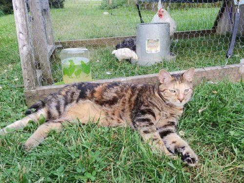 Dr. Callie - Indoor/Outdoor Cat 5