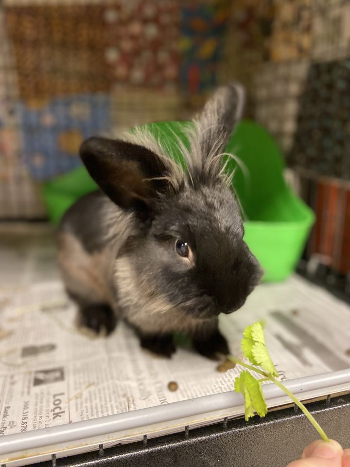 Shadow, an adoptable Lionhead & Holland Lop Mix in Bellingham, WA