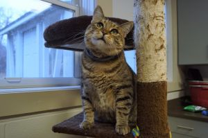 Carmengia is a 6 year old diabetic Tabby She is spayed and current on all vaccines She takes her i