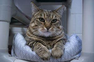 Carmengia-Diabetic Domestic Short Hair Cat