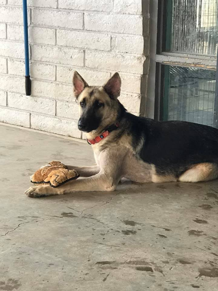 River, an adoptable German Shepherd Dog in Glendale, AZ