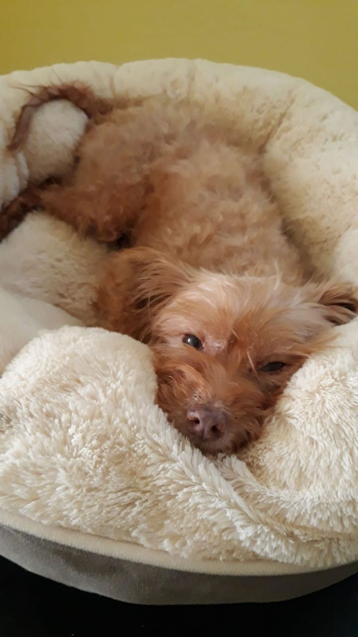 Minnie, an adoptable Poodle Mix in Albany, NY