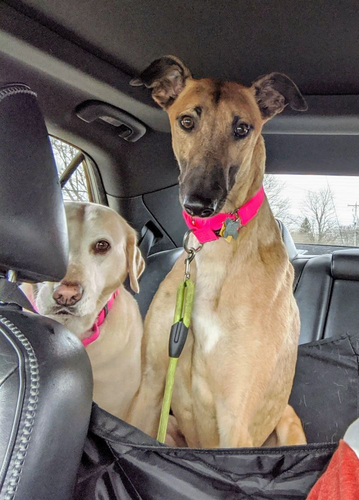 Olive, an adopted Greyhound in Burlington, WI