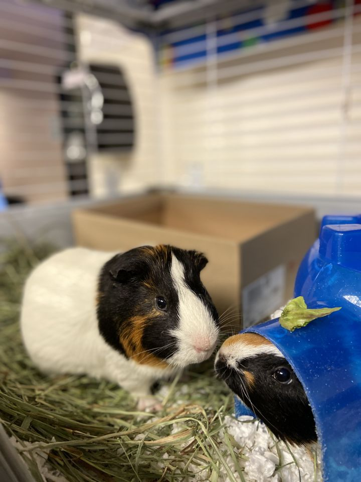 Mars & Mercury, an adopted Guinea Pig in Bellingham, WA