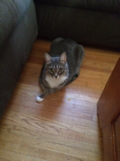 Meet Meeko He is a very loving 5 year old male cat neutered and up to date on shots If