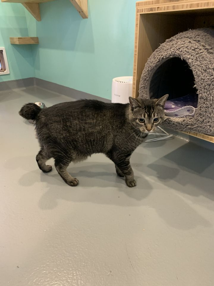 Judy, an adoptable Domestic Short Hair in Jackson, WY