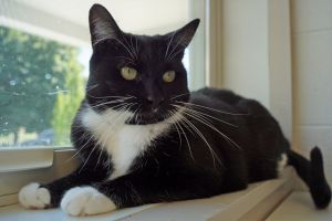 Tamlin is a 6 year old spayed female Tuxedo cat She can be a little shy at firs