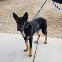 Brye, an adoptable German Shepherd Dog Mix in Kennewick, WA