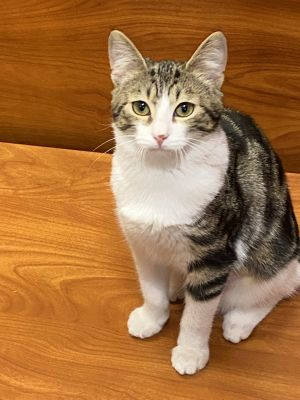 Very sweet  loving kitty looking for her furrever home Loves to run  play