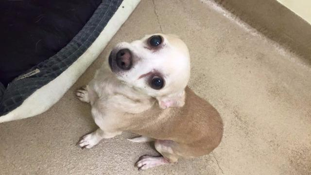 Bruno, an adoptable Chihuahua in Fort Pierce, FL