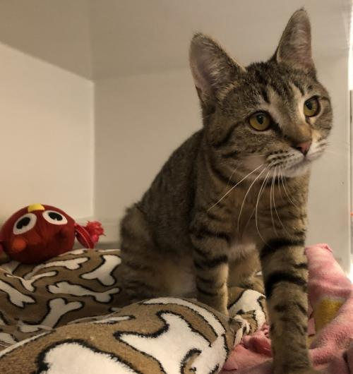 Ava, an adopted Tabby & Domestic Short Hair Mix in Monroe, MI