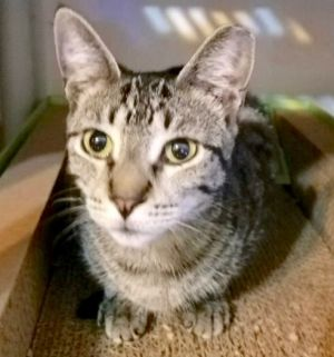 Autumn is a lovely spotted silverebony tabby little girl with the smallest litt