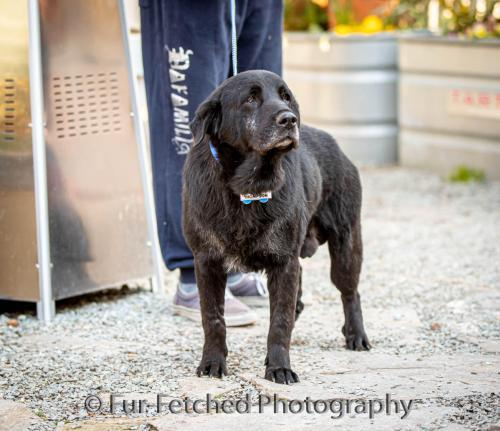 Thompson, an adopted Flat-Coated Retriever in Wake Forest, NC