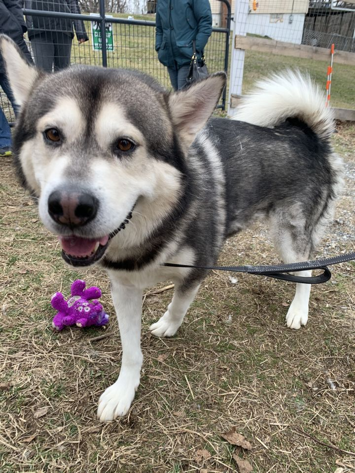 Sugar Bear, an adopted Alaskan Malamute in Gaithersburg, MD