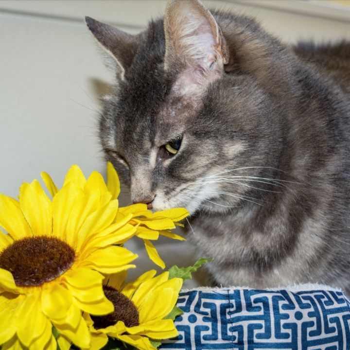 Dougal, an adoptable Domestic Short Hair in Jacksonville, OR