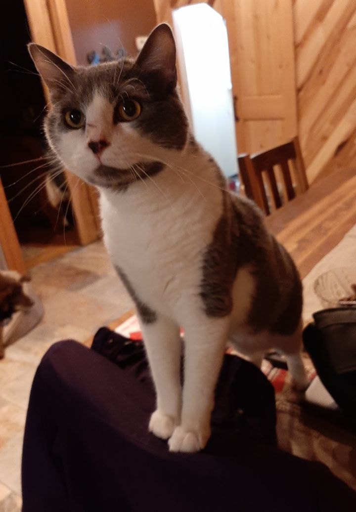 Cat For Adoption Gaston A Domestic Short Hair In
