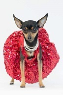 Mina is a loving and affectionate 7 year old spayed Miniature Pinscher who weighs in at 5 pounds Sh