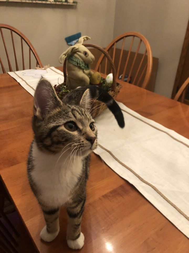 Gemma, an adopted Tabby & Tiger Mix in Garfield Heights, OH