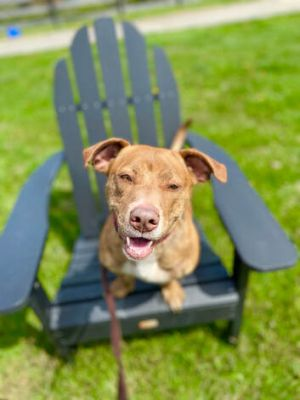Demitasse - super athletic, lots of fun, young low rider mix American Staffordshire Terrier Dog