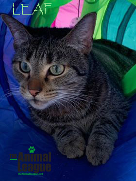 Leaf, an adopted Domestic Short Hair Mix in Clermont, FL