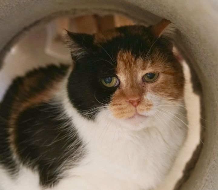 Iron Maiden, an adoptable Domestic Short Hair in Naperville, IL