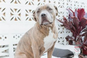 Meet Sierra Sierra is Beautiful Pitbull who is about 3 years old and is a little fluffy at about 65