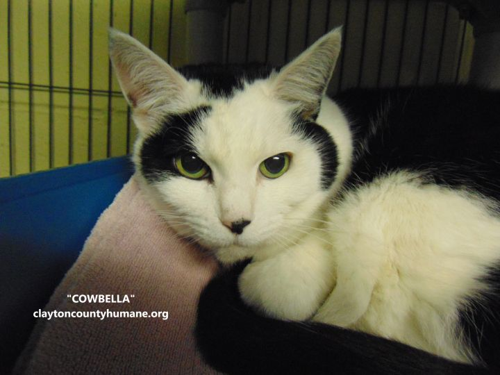 Cowbella, an adoptable Domestic Short Hair in Jonesboro, GA