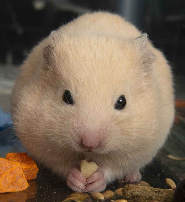 Phil-Bert, an adopted Hamster in Chicago, IL