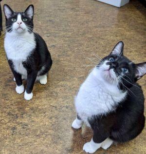 Spinner Domestic Short Hair Cat
