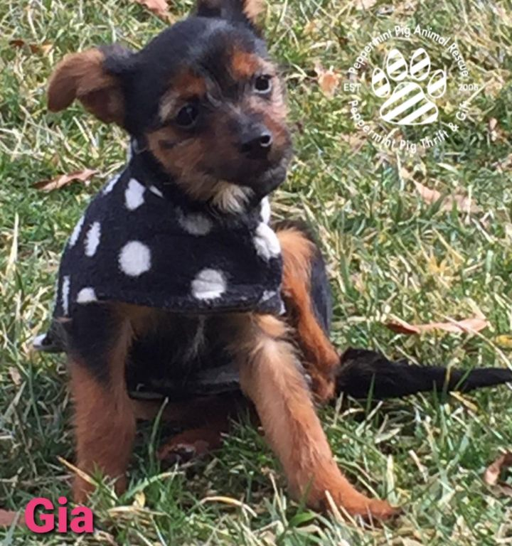 Gia, an adopted Dachshund & Yorkshire Terrier Mix in Cincinnati, OH