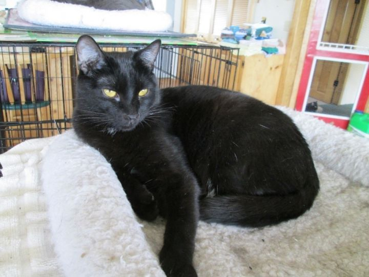 Loki II, an adopted Domestic Short Hair Mix in Buhl, ID