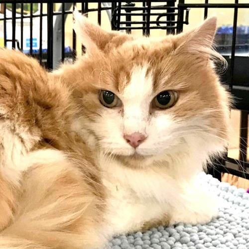 BUTTERSCOTCH - Vallejo, an adopted Maine Coon in Vallejo, CA