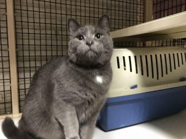 Karina, an adoptable Domestic Short Hair & Russian Blue Mix in Oakland Park, FL