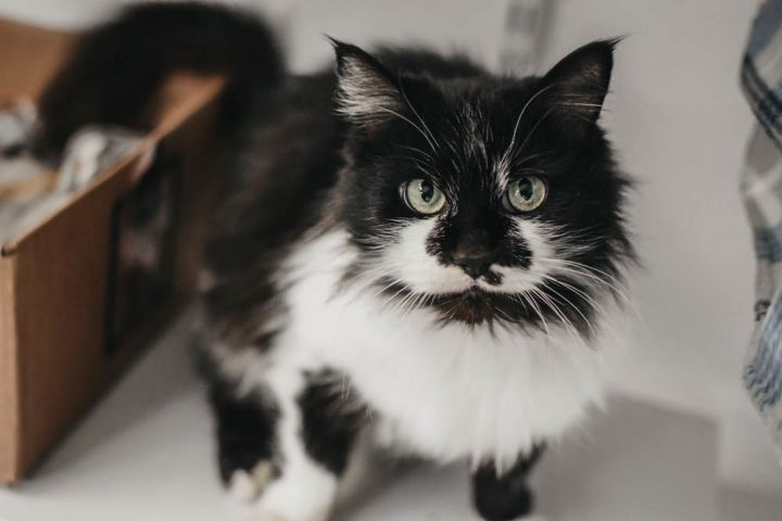 Odessa, an adopted Domestic Long Hair Mix in Longview, WA