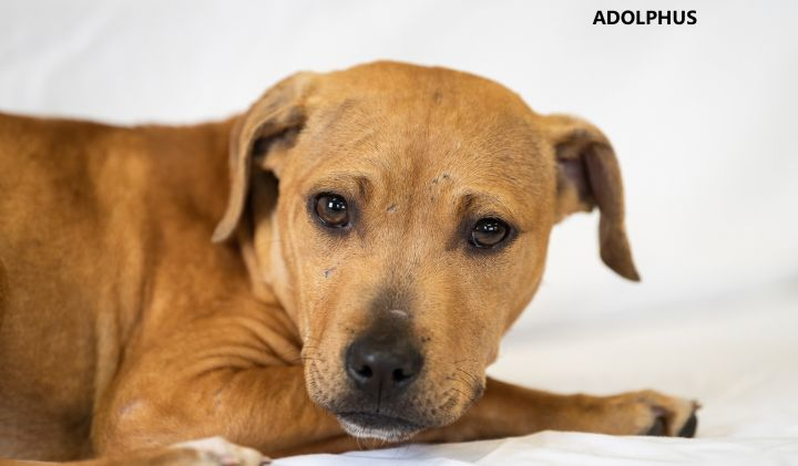 Adolphus, an adopted Labrador Retriever & Pit Bull Terrier Mix in Washington, GA