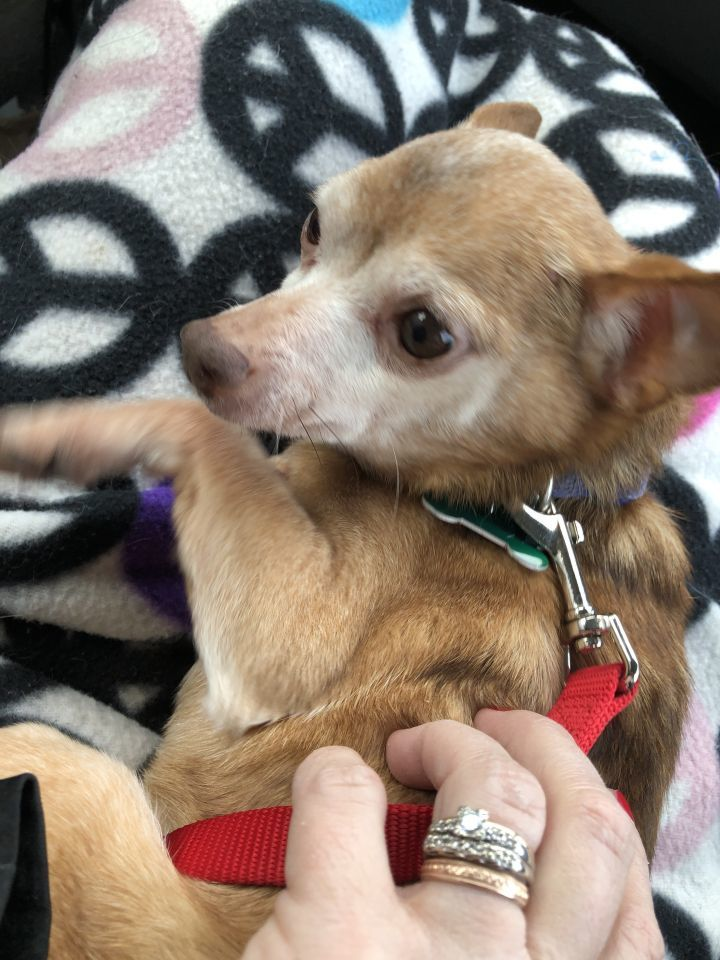Canelo, an adopted Chihuahua Mix in Palatine, IL