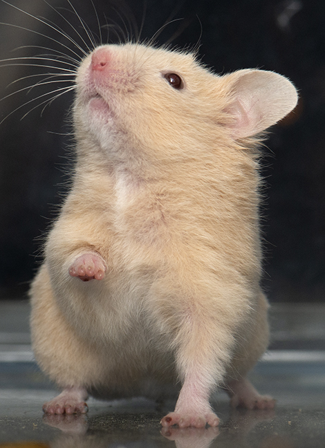 Daisy, an adopted Hamster in Chicago, IL