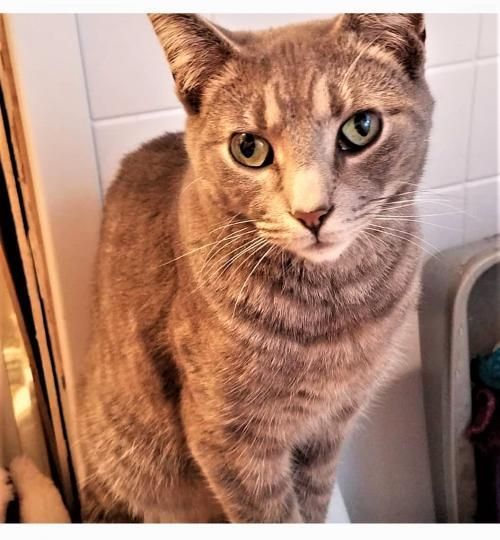 Ziggy D, an adoptable Domestic Short Hair in Trenton, NJ