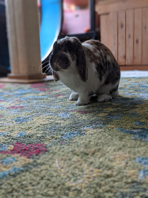 Mochi & Jellybean, an adoptable Holland Lop Mix in Bellingham, WA