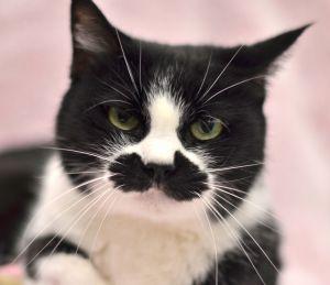 Karlie - 1960 Petsmart Domestic Short Hair Cat