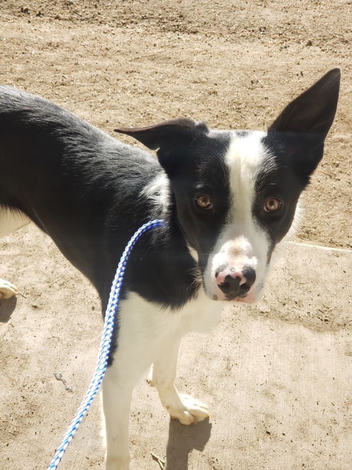 Ed, an adopted Border Collie in Bakersfield , CA