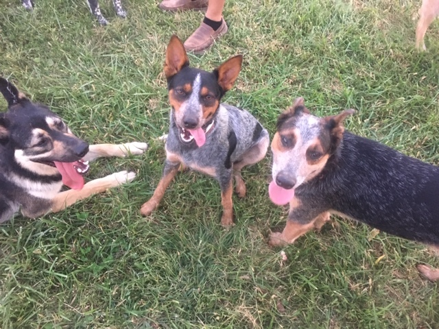 Hank, an adoptable Australian Cattle Dog / Blue Heeler & German Shepherd Dog Mix in Littlestown, PA