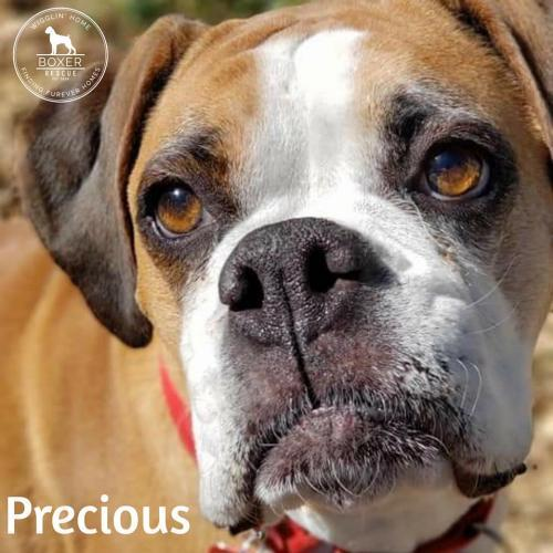Precious, an adopted Boxer in Battle Ground, WA
