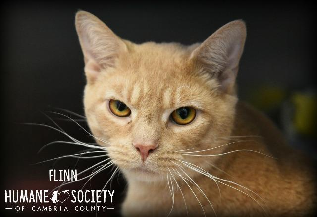 Flinn, an adoptable Domestic Short Hair in Johnstown, PA