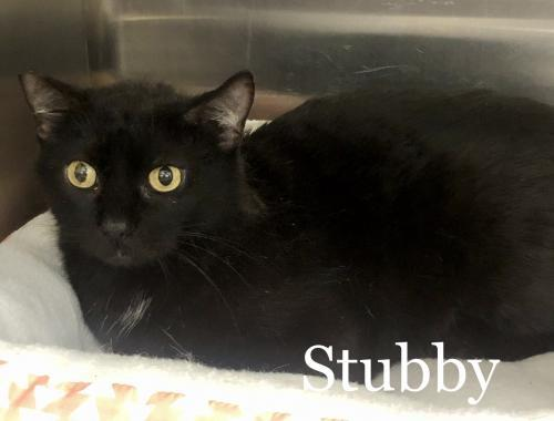 Stubby, an adoptable Manx & Bombay Mix in Orlando, FL