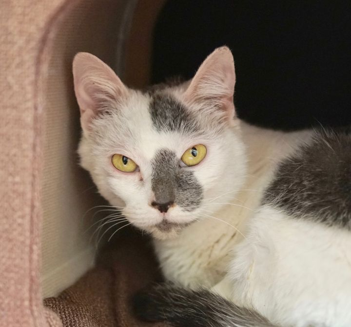 Merengue, an adoptable Dilute Calico in Naperville, IL