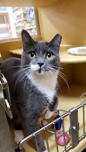 Chickie is a sweet 3 years old female She loves playing with feather toy and wi