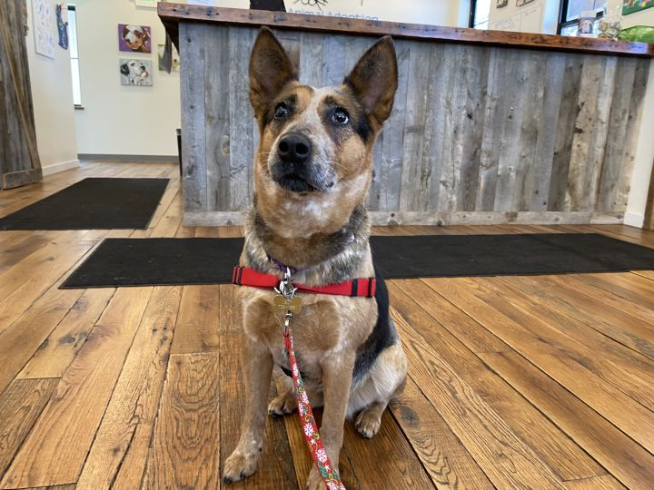 Sophie, an adoptable Australian Cattle Dog / Blue Heeler Mix in Jackson, WY