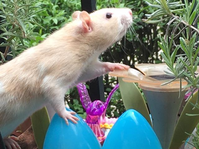 Diane, an adoptable Rat in Ann Arbor, MI
