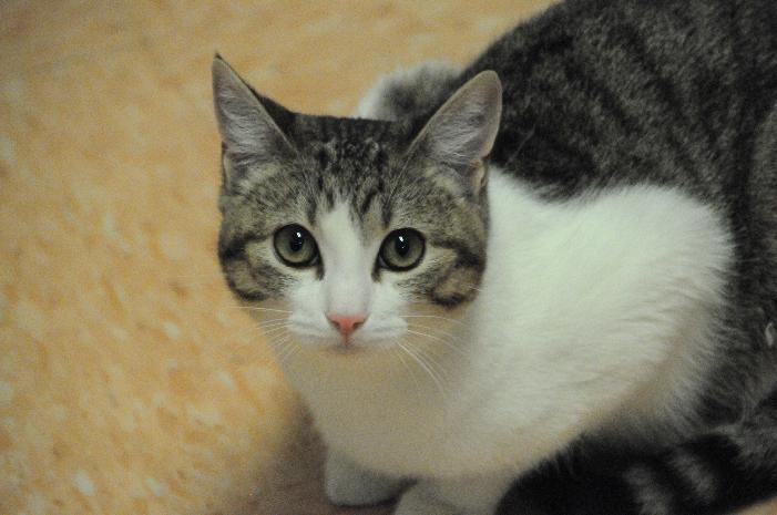 Tootsie, an adoptable Domestic Short Hair in Jamestown, CA